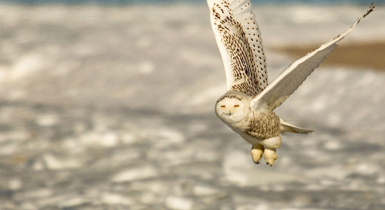 Snowy owl Carl Jacobs