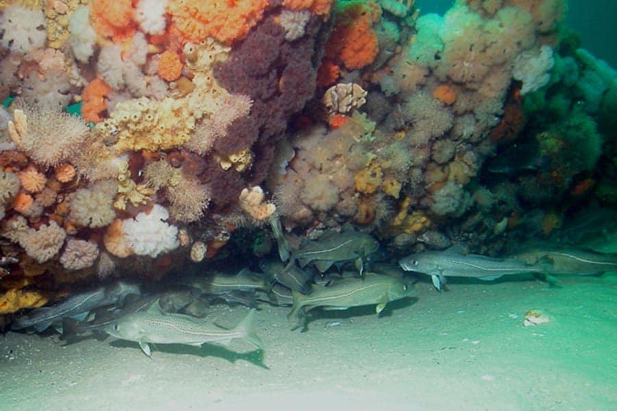 Atlantic Cod under a Coral Reef